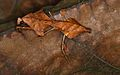 Malaysian Dead Leaf Mantis (Deroplatys lobata) (8737978059).jpg