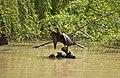 Male Australasian Darter preening.jpg