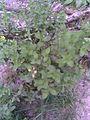 Malpighiales - Hypericum perforatum 3 - 2011.08.23.jpg