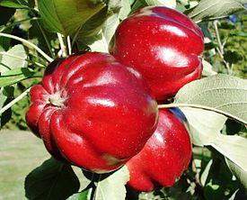 Malus - Roter Herbstkalvill.JPG