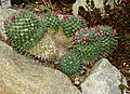 Mammillaria magnimamma Kiev3.jpg