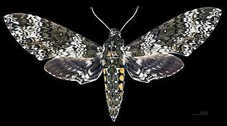 Manduca rustica - Image: Manduca rustica MHNT CUT 2010 0 68 Palenque Mexico Male dorsal