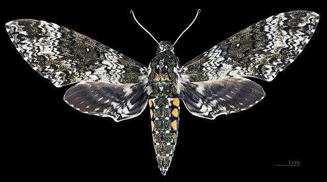 Sưu tập Bộ cánh vẩy 2 - Page 16 640px-Manduca_rustica_MHNT_CUT_2010_0_68_Palenque_Mexico_Male_dorsal