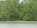 Mangroves (Sonneratia sp.) at Low Tide (15664283910).jpg