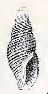 <i>Maorimorpha suteri</i> Species of gastropod
