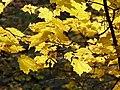Maple leaves (yellow) PA240061.jpg