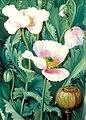Marianne North opium poppy.jpg