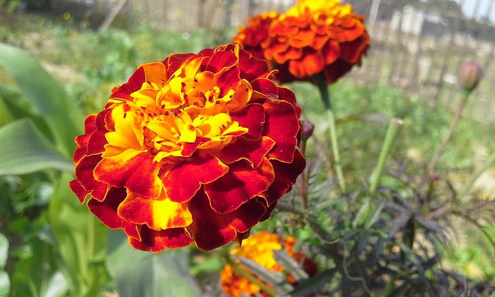 Marigold Flower 'Genda ful'
