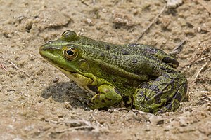 Marsh frog - Young adult Kampinos Forest, Poland