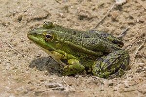 Kampinos National Park - Image: Marsh frog (Pelophylax ridibundus)