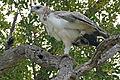 Martial Eagle (Polemaetus bellicosus) juvenile (17142198408).jpg