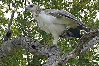 Martial eagle - A typically pale immature martial eagle in Kruger National Park.