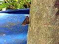 Matapa aria, Common branded redeye, chenkanni 2.jpg