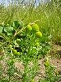 Matricaria discoidea flower (16).jpg