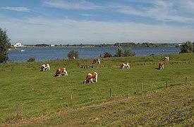 Maurik, weiden met koeien bij het Eiland van Maurik IMG 2470 2019-09-15 12.52.jpg