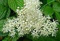 Meadowsweet. Filipendula ulmaria - Flickr - gailhampshire.jpg