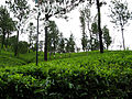 Melfort Tea Estate 0616.jpg