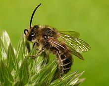 Melittidae
