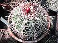 Melocactus curvispinus.jpg
