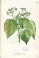 Melochia arborea Blanco1.189-original.png
