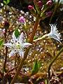 Menyanthes trifoliata 002.JPG