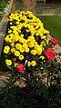 Merigold flower 1.jpg
