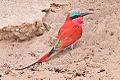 Merops nubicoides, Shakawa, Botswana 1.jpg