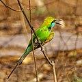 Merops orientalis, green Bee-eater 3.jpg