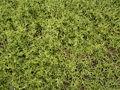 Mesembryanthemum nodiflorum (La Fajana) 04 ies.jpg