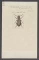 Metabletus - Print - Iconographia Zoologica - Special Collections University of Amsterdam - UBAINV0274 010 07 0025.tif