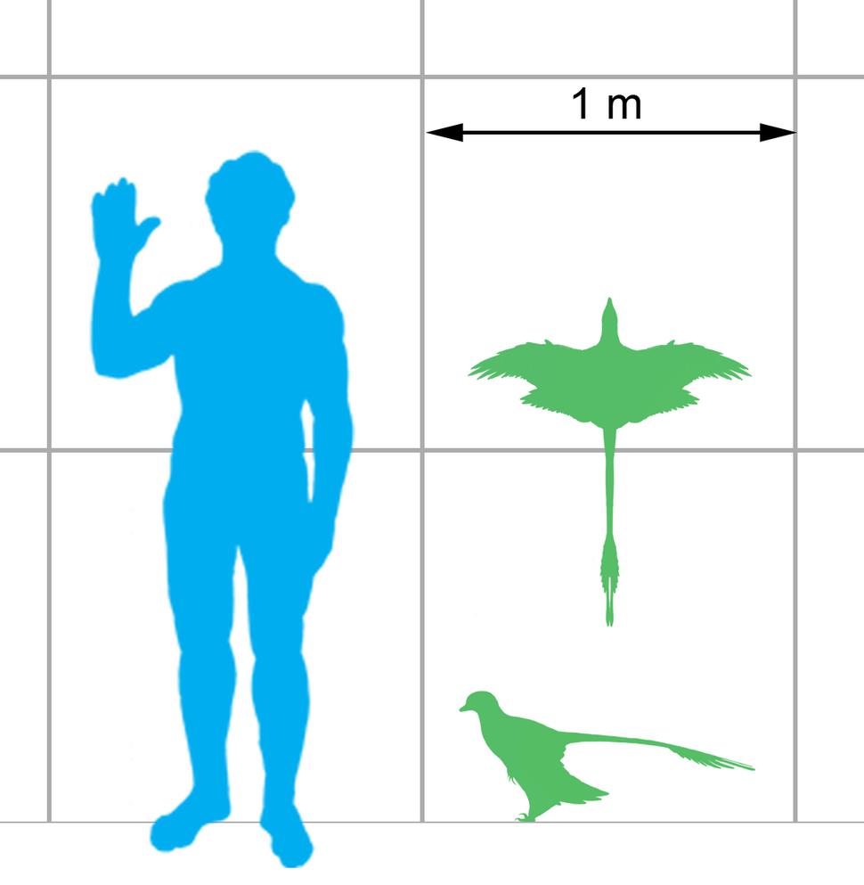 Microraptor scale
