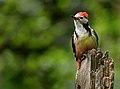 Middle-Spotted Woodpecker (Dendrocopus medius), Forêt de Soignes, Brussels (34479451232).jpg