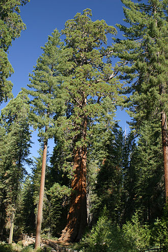 General Grant Grove - Giant Trees in General Grant Grove