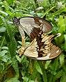Mocker swallowtail's mating (7881275512).jpg