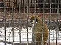 Monkey - Обезьяна - panoramio.jpg