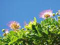 Monkeypod bloom.jpg