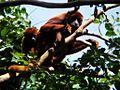 Mono aullador o Araguato.jpg