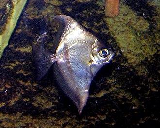 Monodactylus sebae - Image: Monodactylus sebae