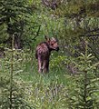 Moose calf in Rocky Mountain NP (2619568867).jpg