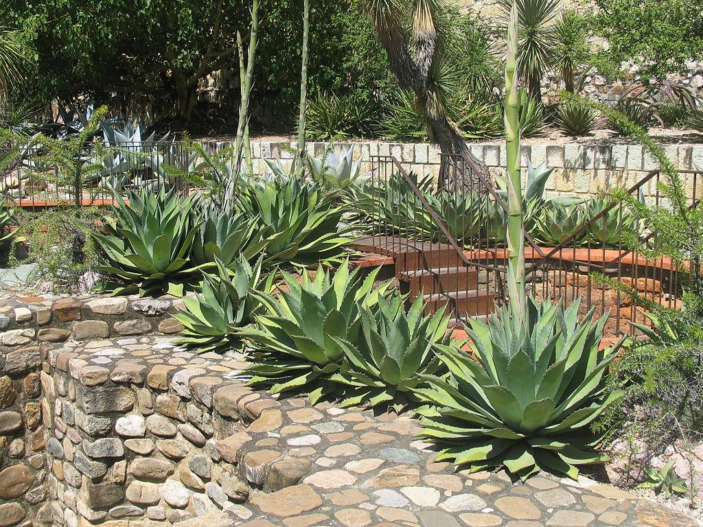 file more maguay agave jard n etnobot nico de oaxaca