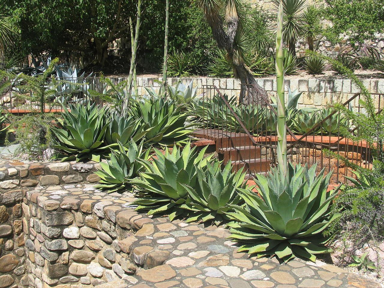 File more maguay agave jard n etnobot nico de oaxaca - Plantas resistentes al sol ...