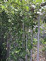 Morinda parvifolia 18257083.jpg