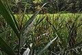 Moscow, VDNKh, wetland grass near the ponds (31554602305).jpg