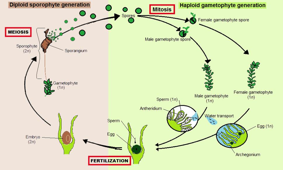 Moss alternation of generations 03-2012