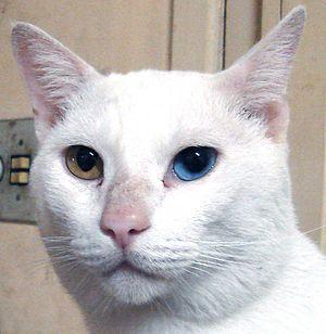 Resultado de imagem para gatos de olho ímpar
