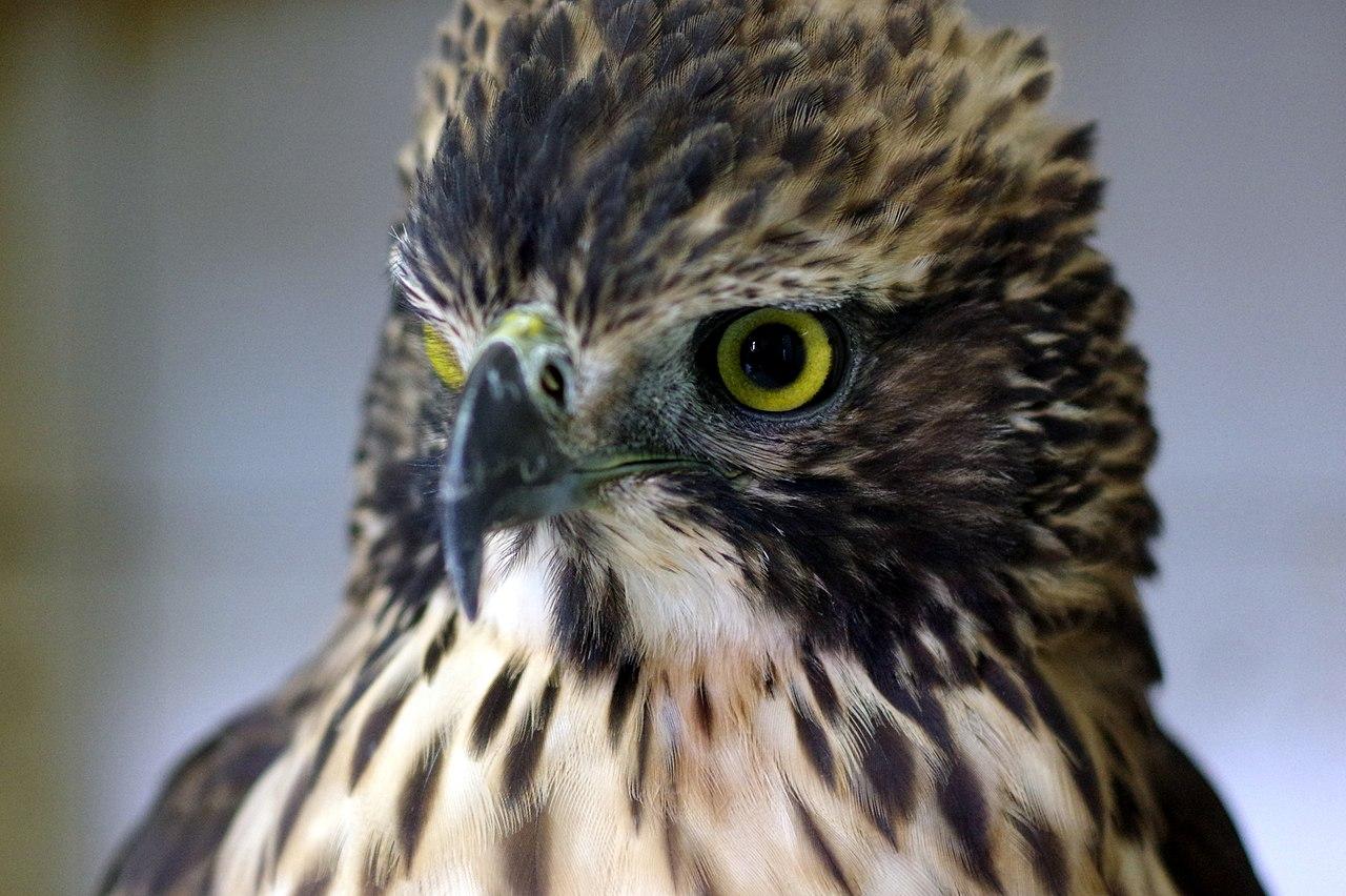 https://upload.wikimedia.org/wikipedia/commons/thumb/e/ea/Mountain_hawk-eagle.jpg/1280px-Mountain_hawk-eagle.jpg