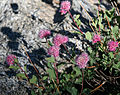 Mountain spiraea Spiraea densiflora flower clusters.jpg