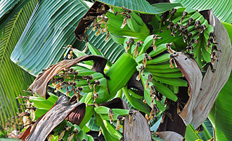 Musa acuminata - Fruit in West Bengal, India.