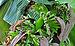Musa acuminata, Burdwan, West Bengal, India 29 09 2012.JPG