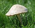 Mushroom in GWC (51113).jpg